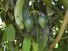 BACURI-PARÍ (Garcinia behthamiana)