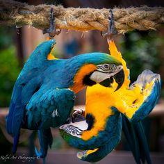 #parrots #colors #yinyang
