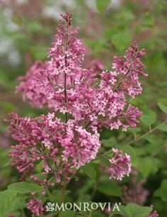Monrovia's Bloomerang® Pink Perfume Lilac details and information. Learn more about Monrovia plants and best practices for best possible plant performance.