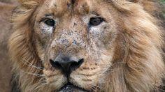 Vor den Augen der Zoobesucher: Löwen verletzen nackten Eindringling schwer