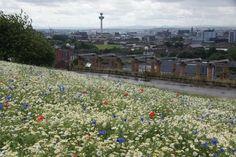 Flower meadow Everton Brow Liverpool.