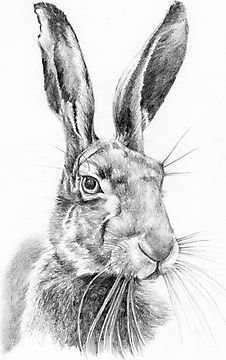 Mr hare by lucy malivoire animal sketches, pencil drawings of animals, art drawings, Pencil Drawings Of Animals, Animal Sketches, Art Sketches, Wild Animals Drawing, Fish Drawings, Art Drawings, Rabbit Drawing, Rabbit Art, Hare Illustration