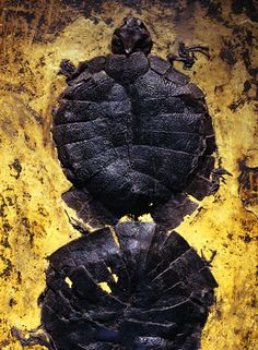 These 49 million-year-old freshwater turtle fossils are believed to have died of poisoning during copulation