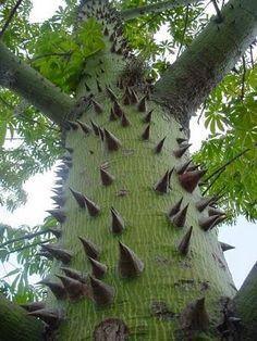 Ceiba Tree, Common Name is Kapok, Native to Mexico                                                                                                                                                      Mais
