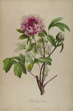 57563 Paeonia suffruticosa Andrews [as Paeonia moutan Sims]  / Bonpland, A., Description des plantes rares cultivées à Malmaison et à Navarre, t. 1 (1831) [P. Bessa]
