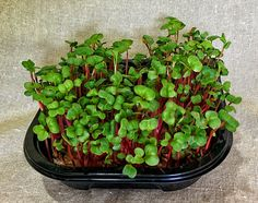 Radish Mania Hydroponic Microgreen Grow Your Own by MicrogreenFarm, $10.00 on etsy