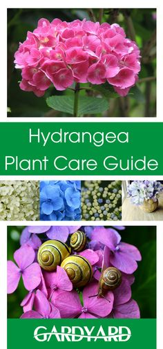Hydrangea - Plant Care Guide