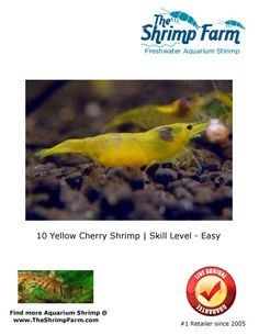 10 Yellow shrimp for $39.99 | Free Shipping