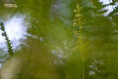 https://flic.kr/p/v7ZGF2 | Coeloglossum viride | Coeloglossum viride  Gargano, Apulia, Italy