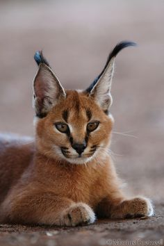 Caracal | Marius Coetzee Photography & Safaris