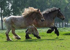 Pair of roan Dutch Draft. Zijtaart and Holland  by Ton van der Weerden, via Flickr. DSC_8908 2