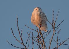 Snowy Owl, What A Wonderful World, Wonders Of The World, Bob, My Love, Animals, Lighting, Twitter, Birds