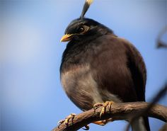 Great Antillean Bullfinch: one of the angry birds