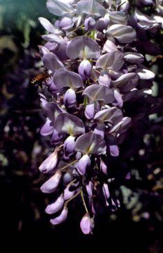 Wisteria flower plant - Tallahassee, Florida
