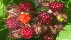 wineberry fruit images wallpaper