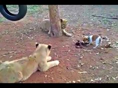 Who is the Boss? - A Jack Russell is the alpha lion - funny dog