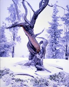 Bryce Canyon: The Ancient Bristlecone Pine Forest in the White Mountains - the oldest living beings on earth! Snow Scenes, Winter Scenes, I Love Winter, Winter Light, Winter Snow, Winter Time, Wichita Mountains, Bristlecone Pine, Twisted Tree