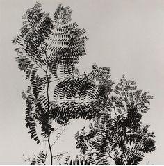 mpdrolet:  Fern fronds, 1950 Ralph Steiner