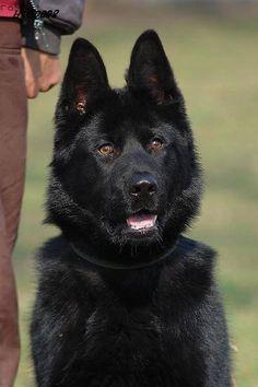 What's beautiful black German Shepherd