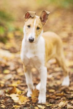 Smooth Collie, by Nani Annette.
