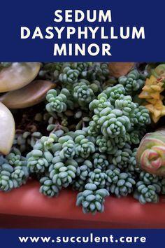 Succulent Lover Plant Lover Sedum Dasyphyllum Minor Rainbow Succulent Plant|Rainbow Succulent Colorful Succulents