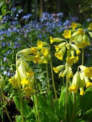 Yellow primula veris in front of blue forget me not