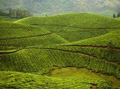 Kolukkumalai Tea Estate: Munnar, India