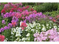 """Phlox paniculata """" Lavendelwolke """" - flox, plamenka Zahradnictví Krulichovi - zahradnictví, květinářství, trvalky, skalničky, bylinky a koření"""
