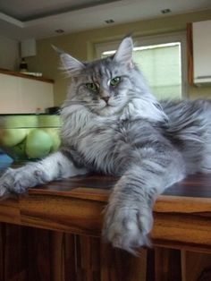 http://www.worldkittens.com  blue tabby maine coon (looks like my Big Grace, attitude and all)