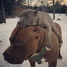 Uplifting So You Want A American Pit Bull Terrier Ideas. Fabulous So You Want A American Pit Bull Terrier Ideas.