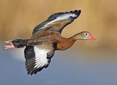 Black-bellied Whistling duck flight02 - natures pics-edit1 - List of birds of Brazil - Wikipedia, the free encyclopedia