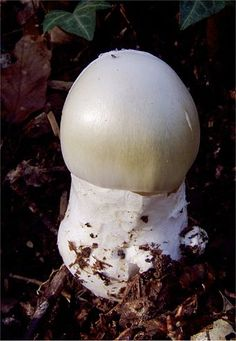 Amanita phalloides - A young death cap emerging from its universal veil  - Wikipedia, the free encyclopedia