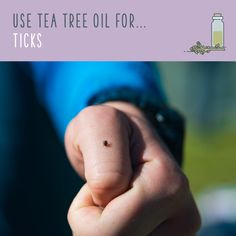 Tea Tree Oil For Ticks You can make a natural tick repellent spray at home with just a few ingredients, or use tea tree oil to safely remove a tick. Essential Oil Safety, Tea Tree Essential Oil, Essential Oils, Tea Tree Oil Uses, Tea Tree Oil For Acne, Natural Tick Repellent, Tick Spray, At Home Face Mask, Oil Benefits