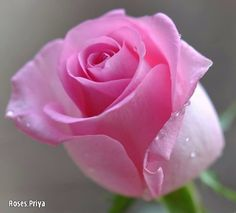 Pink and lovely rose