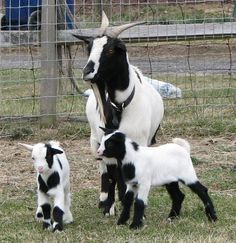 Fainting goats- cute and entertaining!