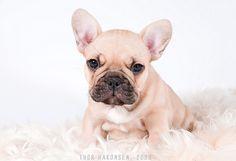 French Bulldog - Pasquale, 7 weeks
