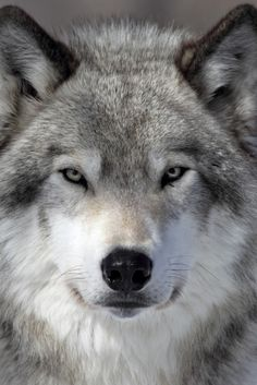 Oregon Retreats From Wolf Protection, as Possible Setup for Trophy Hunting