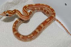 Amber Motley, 100% het Dilute, Anery & 66% het Amel cornsnake Cool Snakes, Reptiles, Lavender, Cool Stuff, Amber, Animals, Animales, Animaux, Animal