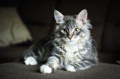Mysak - Maine Conn kitten