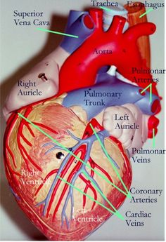 Anatomy of a heart American Stroke Association Medical Coding, Medical Science, Medical School, Medical Facts, Stroke Association, Heart Anatomy, Nursing Notes, Nursing Math, Pharmacology Nursing