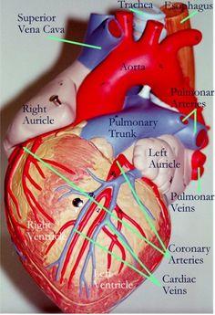 Anatomy of the heart | @Jan Wilke Russell-Snider Heart Association | American Stroke Association