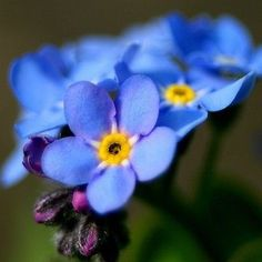 200+ Forget Me Not Blue Flower Seeds ,Under The Sun Seeds