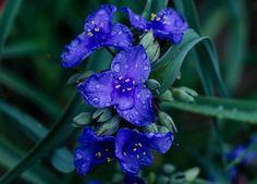 2014 Heirloom Perennial Spiderwort 30 Seeds by Quiltgasm on Etsy, $2.65