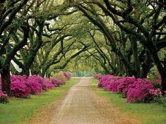 St. Francisville, Louisiana,   .  .  Spectacular azalea lined drive at the Afton Villa Gardens, a former plantation in Louisiana. .  .  .  Source/Credit/Image: via Pinterest