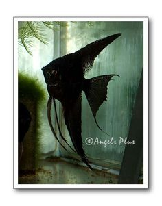 Black Veil Angel Fish - Dream Fish <3