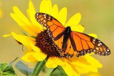 The monarch massacre: Nearly a billion butterflies have vanished |via`tko The Washington Post