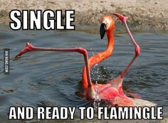"@Lauren Trojacek I found something that is more awkward at flirting than you are. :P but the line is pretty great ""Single and ready to FLAMINGLE"""