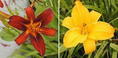 Daglelie  Hemerocallis 'Ruby Spider' /                    Hemerocallis 'Chicago Sunrise'