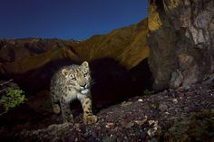 Snow Leopards - National Geographic Magazine