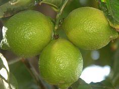 Como plantar limoeiros-taiti em vasos